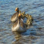 geese-1406725_960_720